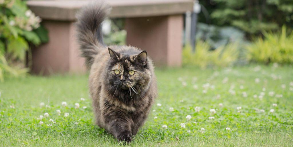 Élevage de chat british : trouver un élevage en France