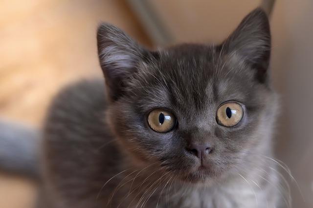 chaton british noir